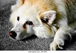american eskimo dog vector american eskimo dog stock photos u0026 american eskimo dog stock