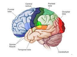 Gross Anatomy Of The Brain And Cranial Nerves Worksheet Brain Anatomy