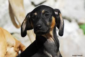 afghan hound urban dictionary sloughi puppy sloughi arabian hound pinterest