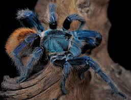 science still can t explain why these tarantulas are blue