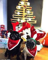 pugs jasmine and jasper celebrate first christmas as married