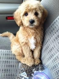 goldendoodle puppy treats best 25 golden doodle puppies ideas on golden doodles