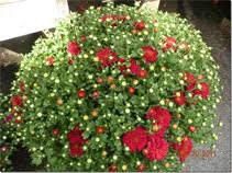 grow care fall mums jim jenkins lawn u0026 garden center