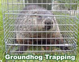How To Get Rid Of Raccoons In Backyard How To Get Rid Of Groundhogs