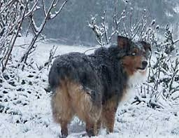 australian shepherd history winter dog safety