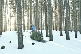 trading christmas trees for cash forestry investments are