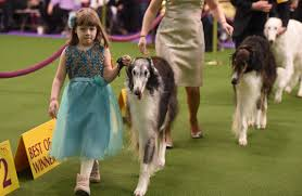 afghan hound westminster westminster dog show highlights heading into best of show