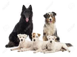 belgian sheepdog groenendael puppies belgian shepherd groenendael australian shepherd and jack russell