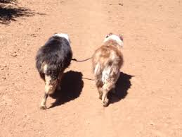 jogging with australian shepherd using a dog coupler double dog leash without a leash