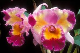 orchid pictures orchid stock photos species hybrids images plant flower