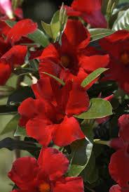 crimson sun parasol giant crimson mandevilla monrovia sun parasol