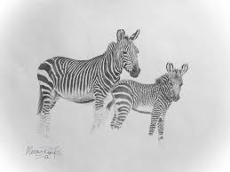 mountain zebra and foal pencil drawing murray ralfe art