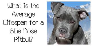 blue nose american pitbull terrier blue nose pitbull lifespan longer than you might think