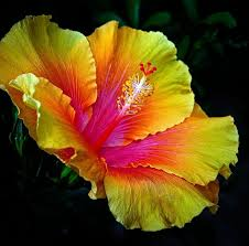 Yellow Hibiscus Flowers - 126 best hibiscus images on pinterest hibiscus flowers tropical