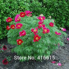 Garden Seed Planter by Paeonia Tenuifolia Seeds Fernleaf Peony Seeds Peony Flower Seeds