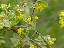 edible australian native plants indigenous plants u2013 branch out with botsoc