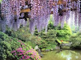 huge wisteria in japan wallpapers high quality download free