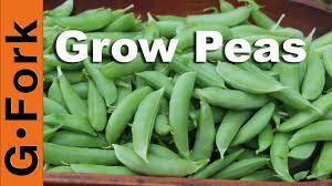 how to grow peas gf video diy living gardenfork tv