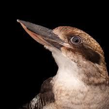 laughing kookaburra national geographic