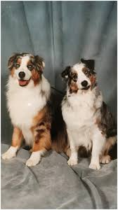 lifespan of australian shepherd australian shepherd homespun kennel ny sidebar 04 jpg