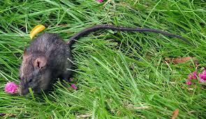 blue mountains native plants black rat rattus rattus