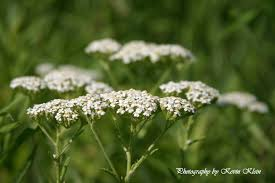 native illinois plants white yarrow
