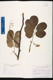 florida keys native plants piscidia piscipula species page isb atlas of florida plants