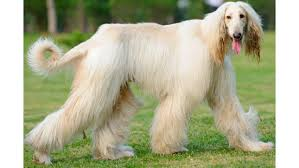 afghan hound trainability 16 best dogs for allergy sufferers 24 7 wall st