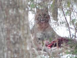 Michigan Wild Animals images Michigan couple spots bobcat possible rare lynx on property cbs jpg