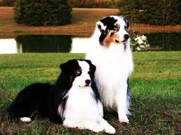australian shepherd service dog acero aussies home