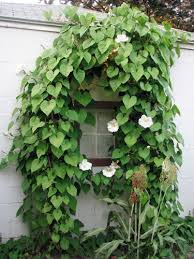 Fragrant Night Blooming Plants - 10 fast climbing vines for your garden moonflower early autumn