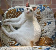 Cat Under Faucet 7 Unusual Facts About Japanese Bobtail Cats Mental Floss