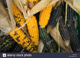 thanksgiving american colorful indian harvest corn for thanksgiving american holiday