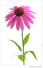 echinacea flower flowers echinacea purpurea plant stock photo i1869416 at
