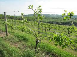 pergola grape vine trellis remarkable grape vine trellis wire