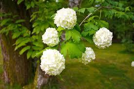 White Flowering Shrub - free images branch blossom flower botany flora hydrangea