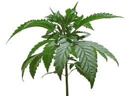 cannabis flower lighting schedules for cannabis plants