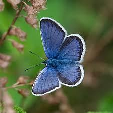 small blue butterflies butterfly