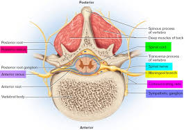 Nerve Map Spinal Cord Anatomy Parts And Spinal Cord Functions