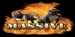 american pitbull terrier breeders st louis blue pitbulls bully pups massive kennels ga blue pitbull puppies