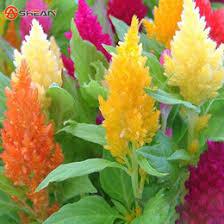 celosia flower celosia seeds online celosia flower seeds for sale