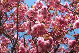 rachael rabbit recycled cherry blossom tree