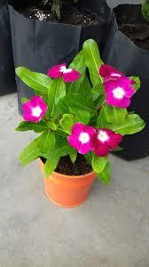 Vinca Flower Information - 35 best vinca images on pinterest plants beautiful and flower seeds