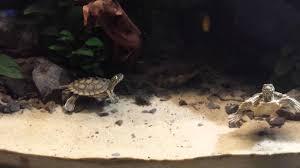 Ringed Map Turtle Graptemys Nigrinoda Nigrinoda Youtube