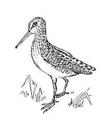 bird snipe clipart illustration free stock photo public domain