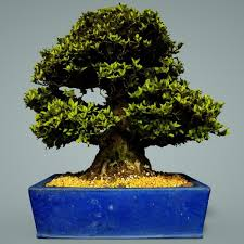 bonsai 3d model game ready bonsai tree cgtrader