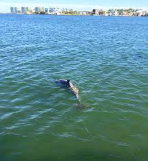 Alabama wild swimming images Gulf shores al dolphin stie seeing cruises jpg