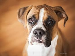 Blind Dog Eye Discharge Eye Ulcers A Common Condition In Boxers And Other Dogs