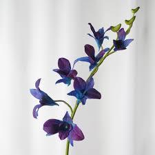 blue dendrobium orchids cymbidium dendrobium cymbidium orchids