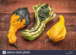 three ornamental gourds on a rustic painted barn wood stock